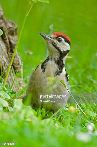 Great Spotted Woodpecker (Dendrocopus Major) Juvenile, Ile De France, Europe, France, Europe
