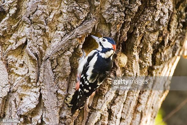 Great Spotted Woodpecker makes nesting hole in Poplar tree Hampstead London United Kingdom