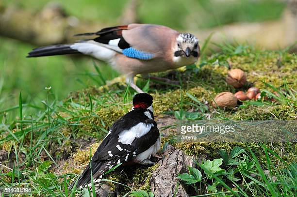 Great spotted woodpecker male competing with Eurasian Jay for fallen nuts on the ground on forest floor Belgium