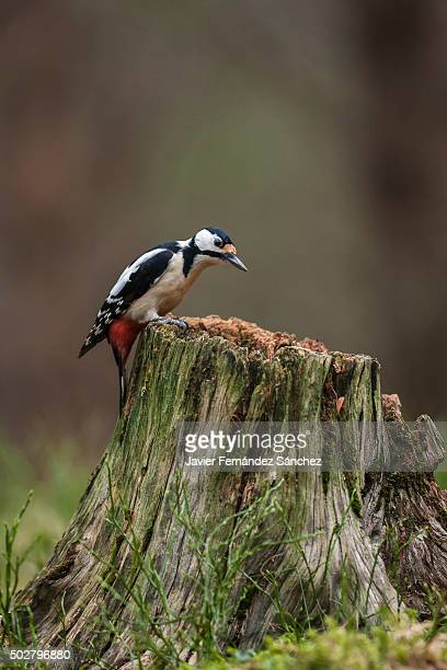 A great spotted woodpecker on a tree stump. Dendrocopos major.
