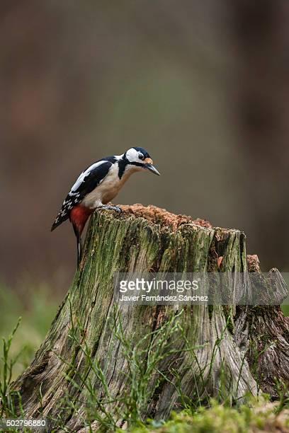 a great spotted woodpecker on a tree stump. dendrocopos major. - pica pau malhado grande - fotografias e filmes do acervo
