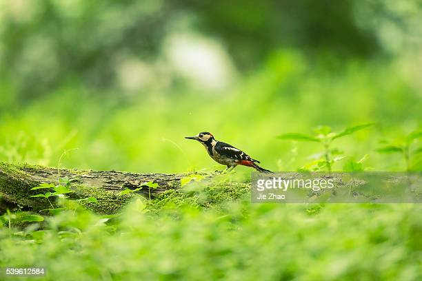 A Great spotted woodpecker perchs on the branch of a tree in Wuyuan county Jiangxi province China on 23th May 2015