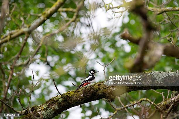great spotted woodpecker (dendrocopos major) - pica pau malhado grande - fotografias e filmes do acervo