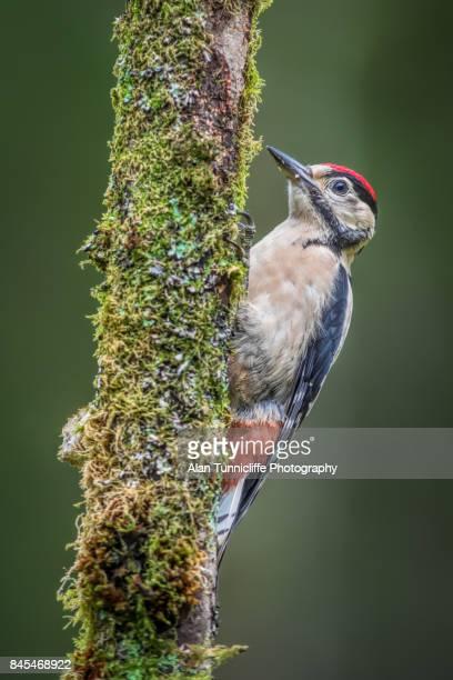 great spotted woodpecker - pica pau malhado grande - fotografias e filmes do acervo
