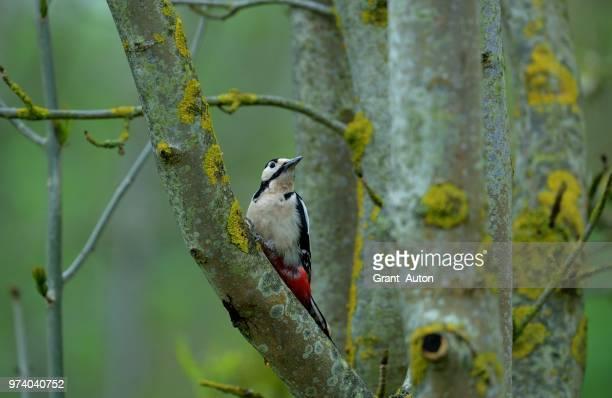great spotted woodpecker (dendrocopos major), rooksbury mill, hampshire, england - pica pau malhado grande - fotografias e filmes do acervo