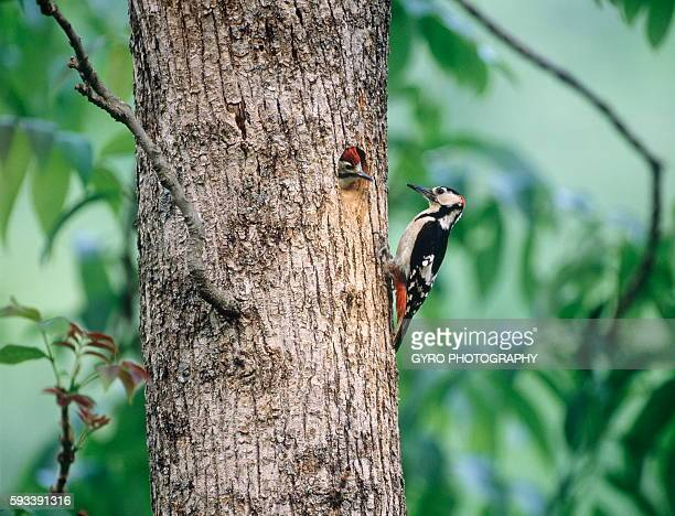 Great spotted woodpeckers on tree trunk, Furano city, Hokkaido prefecture, Japan