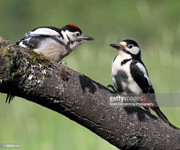 great spotted woodpeckers - pica pau malhado grande - fotografias e filmes do acervo