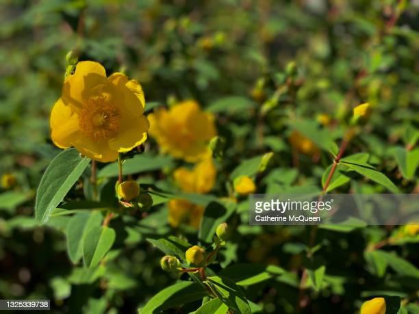 great st. john's wort plant in bloom - paisajes de st johns fotografías e imágenes de stock