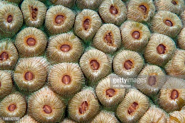 Great star coral , Curacao, Netherlands Antilles,