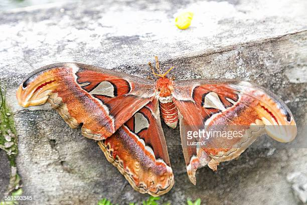 Great Thai moth