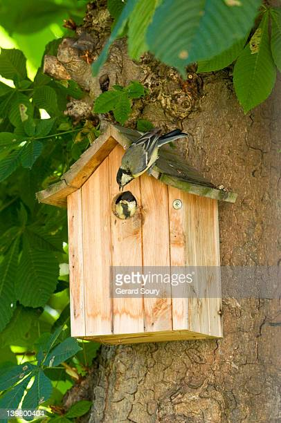 great tit (parus major) adult encourages chick to fly, ile de france, europe, france, europe - cinciallegra foto e immagini stock