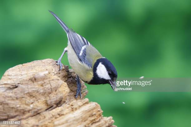 Great tit at the feed