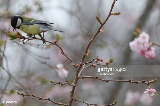 Great Tit collects cherry blossom for nesting in Hyde Park on April 6 2018 in London England According to the MET Office today is expected to be the...