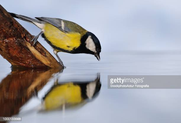 Great tit drinking water in the pond.