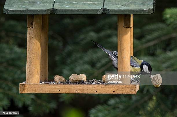 Great tit eating piece of peanut in a birdhouse