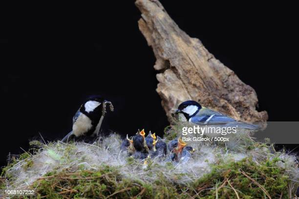 great tit (parus major) family with chicks in nest - birds nest stock photos and pictures