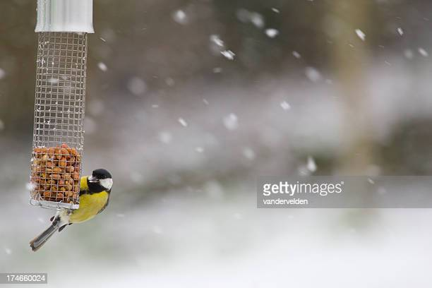Great Tit Feeding In A Snowstorm