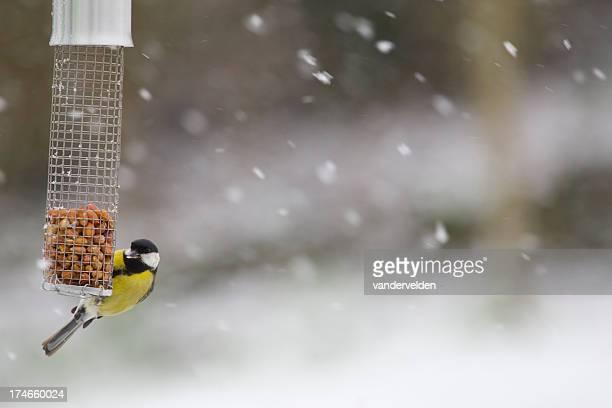 cinciallegra nutrizione in una neve molto forte - cinciallegra foto e immagini stock