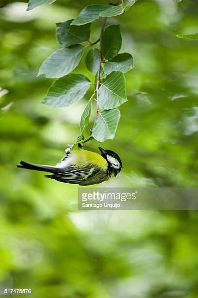 Great tit (Parus major) feeding on a beech tree