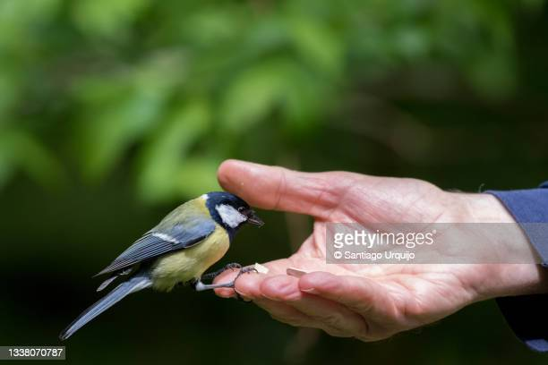 great tit (parus major) feeding on a human hand - capital region stock pictures, royalty-free photos & images