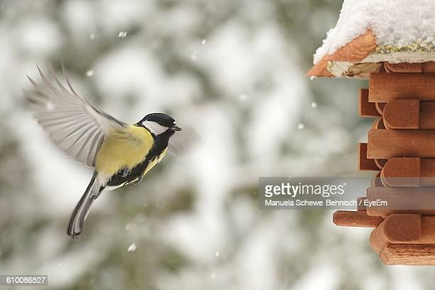Great Tit Flying By Birdhouse During Winter