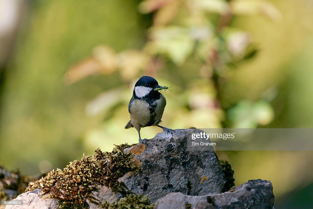 Great Tit with Insect in Beak, England : News Photo