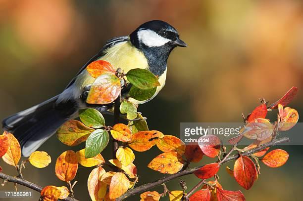 cinciallegra in autunno - cinciallegra foto e immagini stock