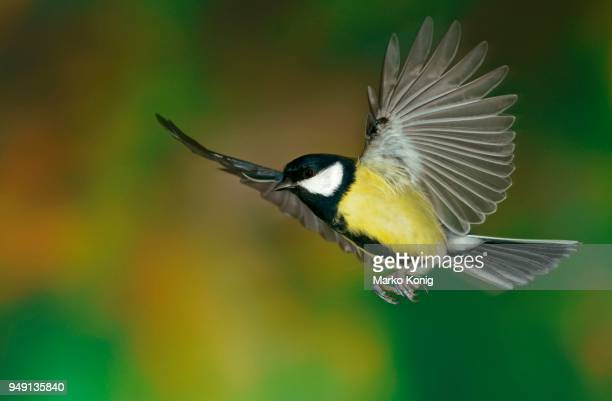 great tit (parus major) in flight, hesse, germany - cinciallegra foto e immagini stock