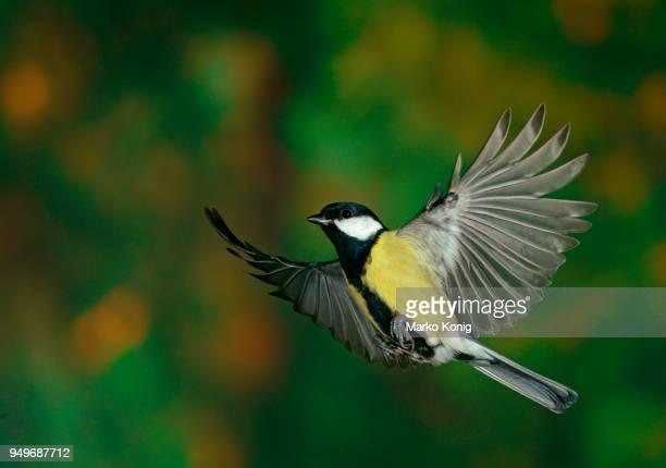 great tit (parus major) in flight, hesse, germany - zangvogel stockfoto's en -beelden