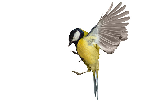 Great tit in flight isolated on white 617892852