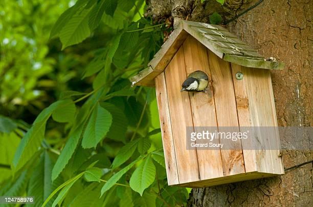 great tit (parus major) in nesting box, ile de france, europe, france, europe - cinciallegra foto e immagini stock