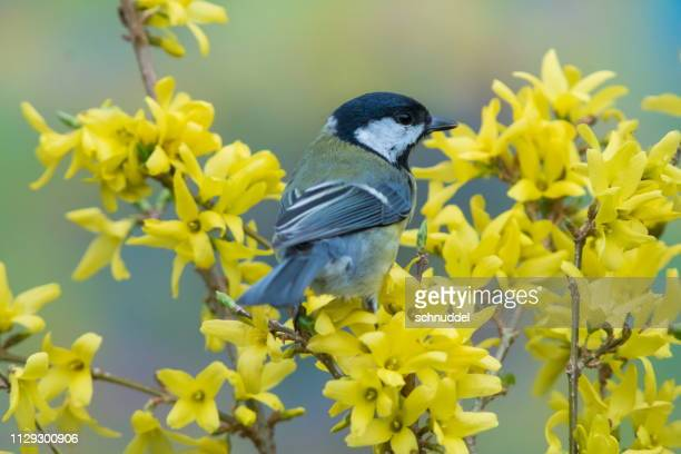 great tit in spring - songbird stock pictures, royalty-free photos & images