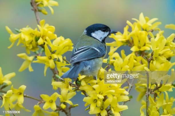 great tit in spring - cinciallegra foto e immagini stock