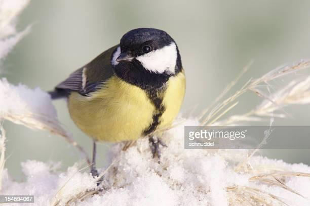 cinciallegra in inverno - cinciallegra foto e immagini stock