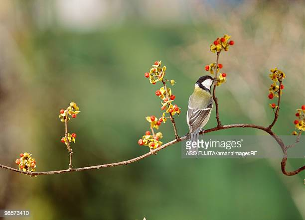great tit. kanagawa prefecture, japan - bittersweet berry stock photos and pictures
