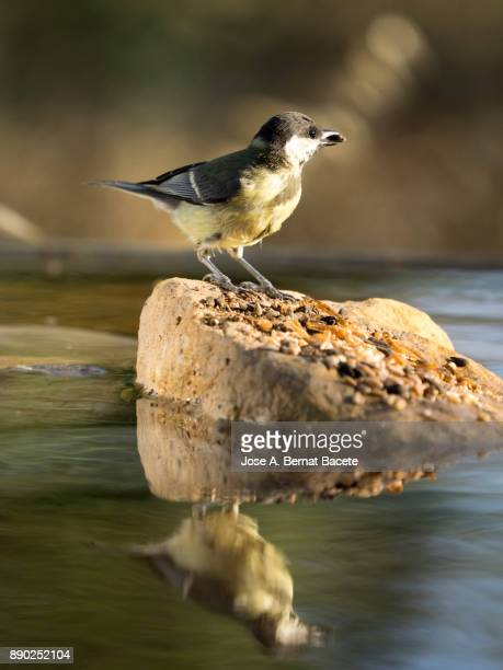Great Tit (Parus major), on a stone inside a water puddle eating and drinking with his reflection inside the water  in the field on a green background.  Spain, Europe.