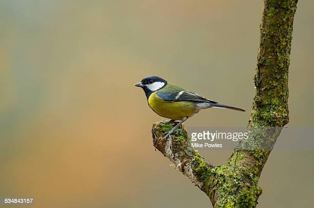 great tit on lichen covered branch - cinciallegra foto e immagini stock