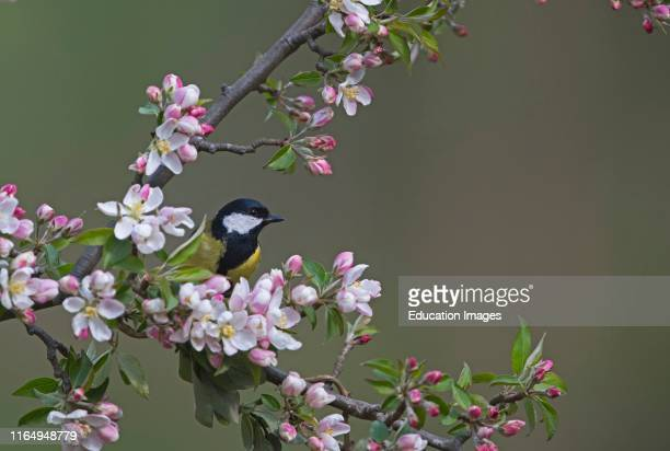 Great Tit Parus major among springtime apple blossom in garden Norfolk