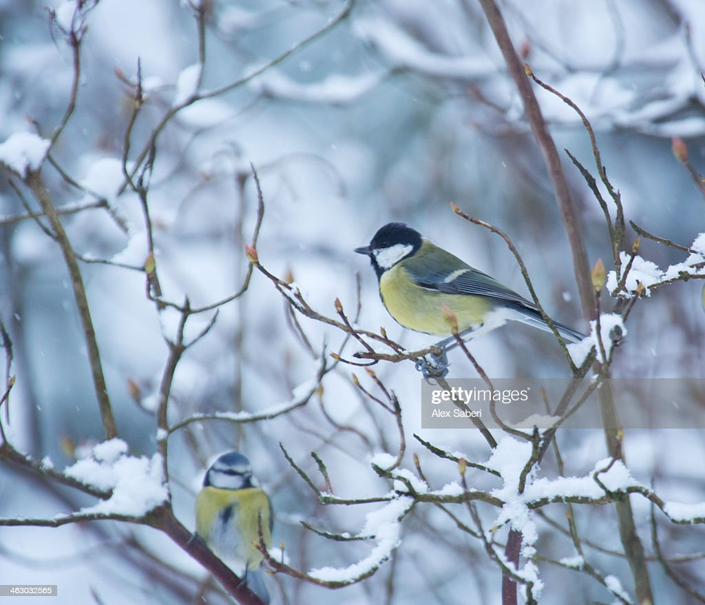 A great tit, Parus major, on a snowy branch. : Stock Photo
