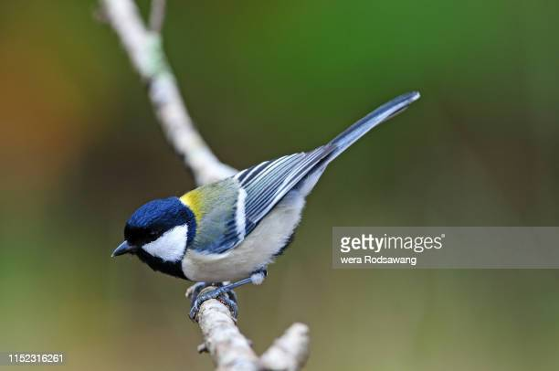 great tit parus major perching on the tree branch - cinciallegra foto e immagini stock