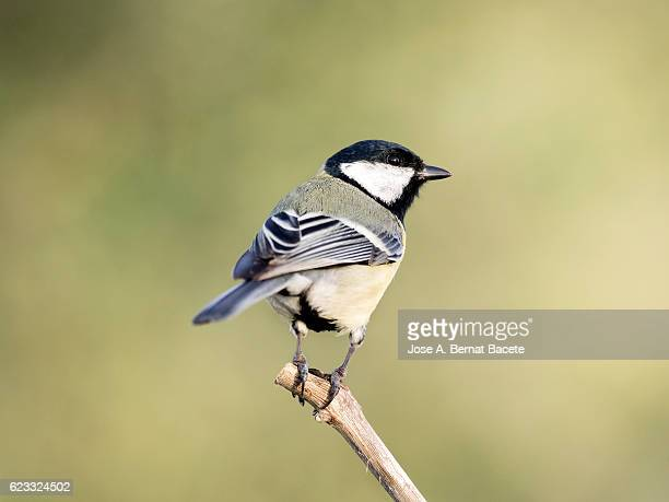 Great Tit, (Parus major,   standing  on a branch  . Spain, Europe.