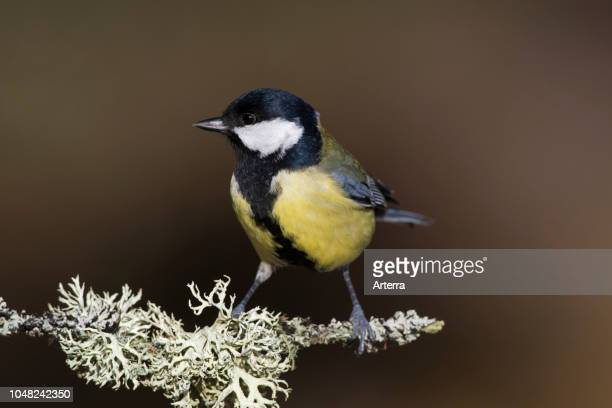 Great tit perched on branch covered with lichen in forest