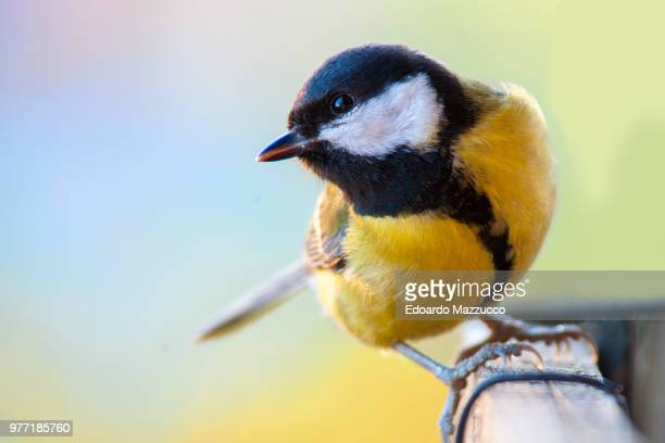 great tit (parus major) perching on fence - yellow perch stock photos and pictures