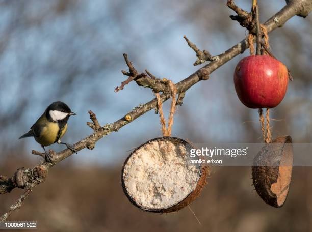 Great tit sitting on a branch in a Swedish garden