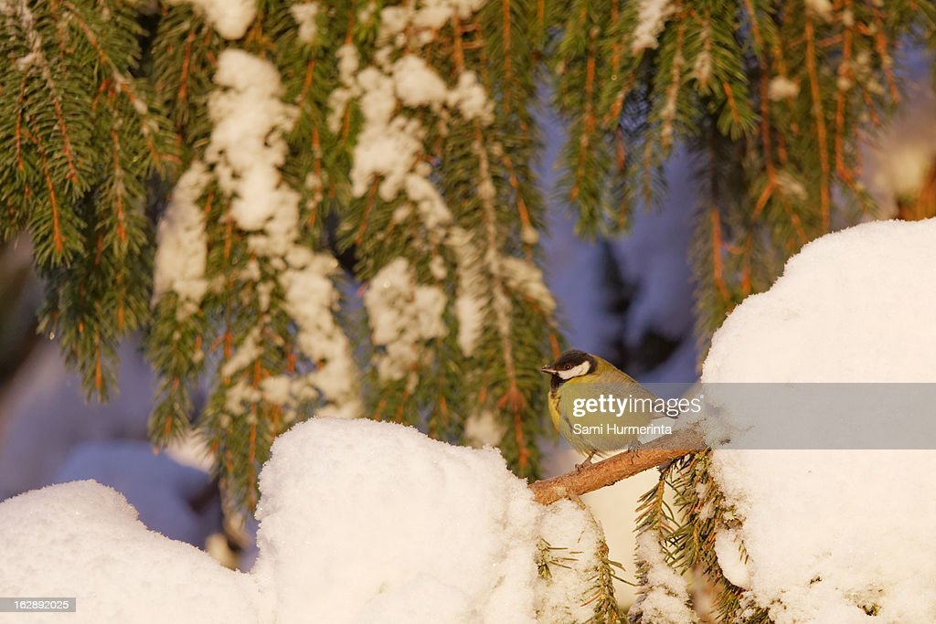 Great tit sitting on a snowy branch : Stock Photo