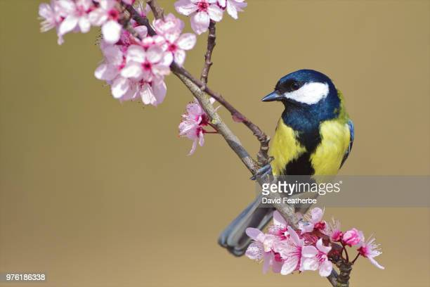 great tit (parus major) sitting on cherry tree branch, norfolk, uk - cinciallegra foto e immagini stock