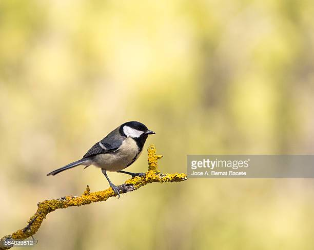 Great Tit (Parus major) , Species (Paridae) . Spain, Europe.