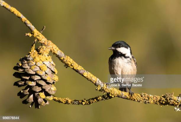 Great Tit (Parus major), standing on a branch of tree with lichens, on a natural green and yellow background. Spain, Europe.