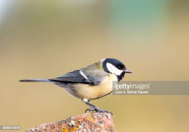 great tit (parus major), standing on a rock with lichens, on a natural green and yellow background. spain, europe. - cinciallegra foto e immagini stock