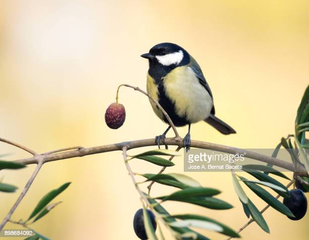 great tit (parus major), standing on  the branch of an olive tree with olives, outdoors on a natural green and yellow background. spain, europe. - spanish olive fotografías e imágenes de stock